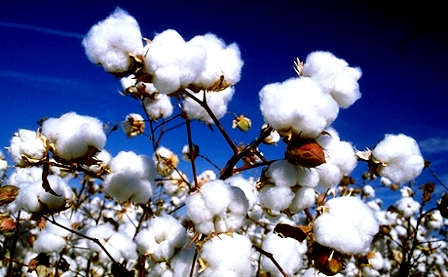 Cotton Marketing From High plains of Texas